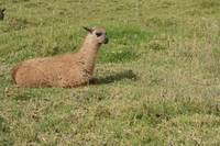 Brown Llama Lying on Grass