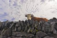 cow in aran islands inishmaan , Ireland,study 1