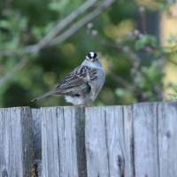 White-Crowned Sparrow Art Prints & Posters by Jean Crawford Evans