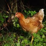 """""""chicken"""" by erinlanzendorfer"""