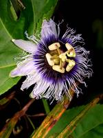 Passion Fruit Blossom
