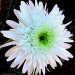 """Crazy Daisy"" by maureenmarieltd"