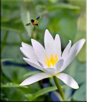 A lily and a bee