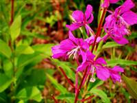 Fairbanks Fireweed