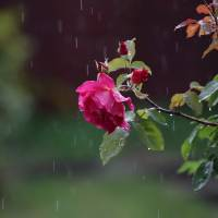 rainy rose Art Prints & Posters by david harding