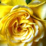 """Floral Fine Art Yellow Rose Flower"" by SteveWalton"