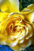 Floral Fine Art Yellow Rose Flower
