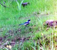 blue jay PIC 879