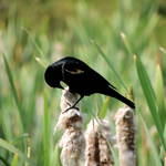 """Red-winged Blackbird"" by vpicks"