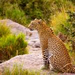 """African Leopard"" by mjphoto-graphics"