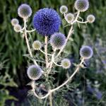 """Globe Thistle"" by RonaBlack"