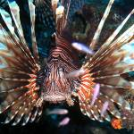 """Caribbean Reef Lion Fish defending its Coral home"" by scubagirlamy"