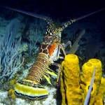 """Caribbean Reef Lobster at Night"" by scubagirlamy"