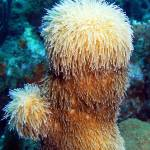 """Corky Sea Finger Coral Sponge feeding on Current"" by scubagirlamy"