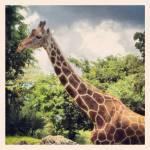 """""""Giraffe"""" by ACastelli"""