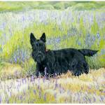 """Scottish Terrier in Lavender Fields"" by MaggieRossArt"