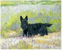 Scottish Terrier in Lavender Fields