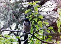 blue jay PIC 975