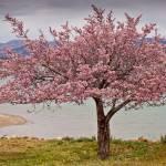 """Blossoms on Yuba"" by Littlepig"