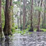 """""""Rain in the Okefenokee"""" by Littlepig"""