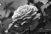 rainyday rose.bw