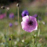 Laying in a field of Anemones