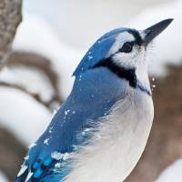 Blue Jay looking up Art Prints & Posters by Ariana Murphy