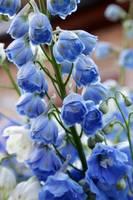 Light Blue Delphiniums by Carol Groenen