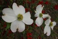 3 Dogwood Blossoms - Horizontal