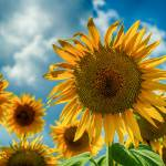 """""""sunflowers"""" by motleymenagerie"""