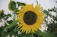 Sunflower Italy