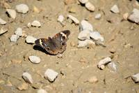 Puddling Butterfly 8766