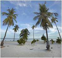 Coconut palm trees on Pamilacan Island, Bohol, Phi