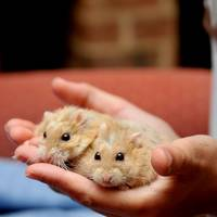 Hamsters In Hand
