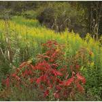 """Goldenrods and Sumac Near DeQueen, Arkansas"" by TimFitzharris"