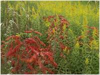 Goldenrods- and sumac, Cassatot Point, Arkansas