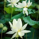 """Lotus Flower"" by motleymenagerie"