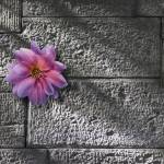 """flower on stone wall"" by KenTannenbaum"