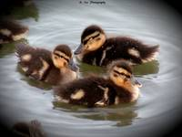 baby duckies