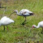 """White Ibises"" by WildAboutNaturePhotography"