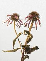 wilted echinacea