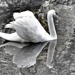 """Mute Swan"" by marshacarson"