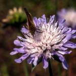 """Skipper and Scabious"" by SteveWalton"