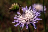 Skipper and Scabious