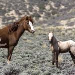 """_MG_0498.Wild Horses"" by SamSherman"