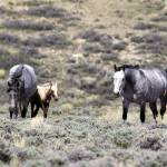 """_MG_0433.Wild Horses"" by SamSherman"
