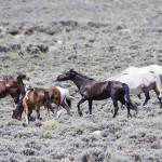 """_MG_0306.Wild Horses"" by SamSherman"