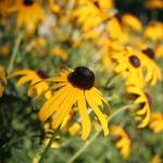 """Black-Eyed Susan in the Shadows"" by JBTurek"