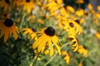 Black-Eyed Susan in the Shadows