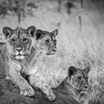 """African Lions #1"" by mjphoto-graphics"